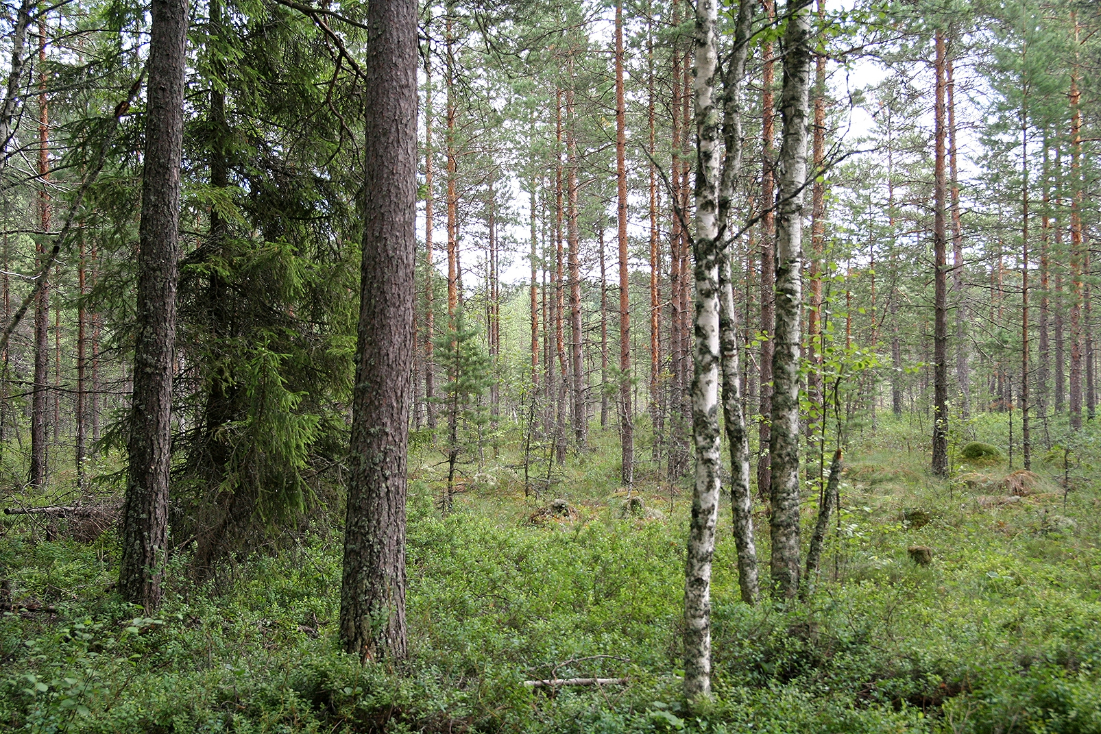 A minerotrophic mire changing towards an ombrotrophic bog, Finland. Photo: J. Päivänen