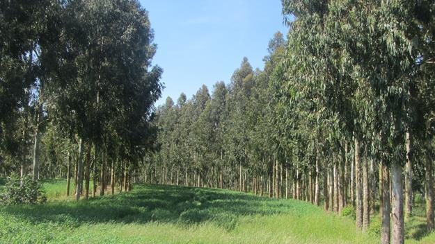 Eucalyptus dunni silvopastoral systems and oat planting between rows. Photo by Alvaro Sotomayor