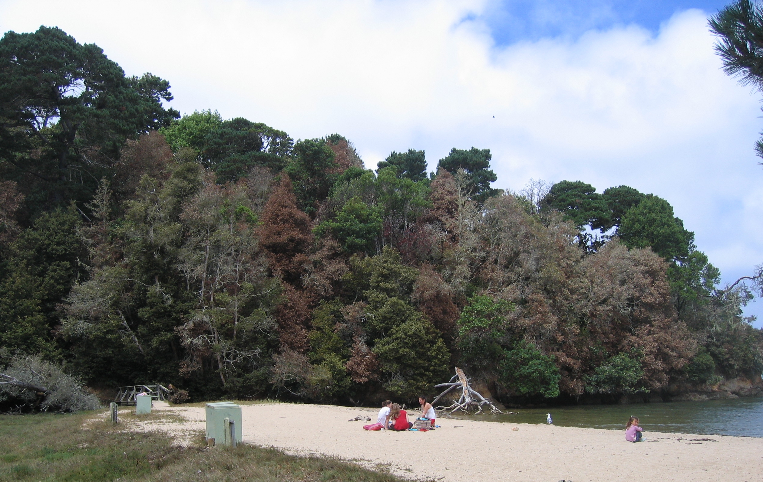 At Shelley Beach, a few miles North of San Francisco, tanoaks and oaks, the most sacred trees to native people of the Northern California coast, have been decimated due to the exotic disease known as Sudden Oak Death (SOD). SOD is thus not only changing the landscape dynamics but also profoundly altering the local culture. (Photo by Matteo Garbelotto)