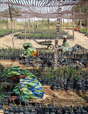 Women caring for tree seedlings in a nursery in Niger. Credit: Bioversity International/L. Snook