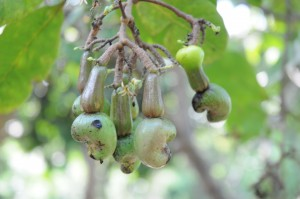 Cashew nuts, Brazil (photo by PJ Stephenson)