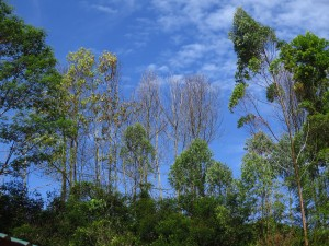 """Dead and dying Acacia trees in Asia due to infection by the wilt pathogen Ceratocystis.""  Photo by Mike Wingfield"