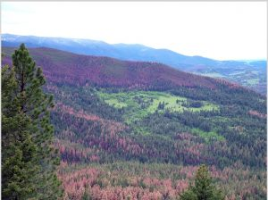 """In western North America, mountain pine beetle outbreaks killed millions of trees across vast areas of pine forests, with an impact even greater than that of wildfire. Climate change has contributed to the size and severity of these unprecedented outbreaks. Photo by Barbara Bentz (from Ramsfield et al. (2016), also see Bentz et al. in the same issue)."""
