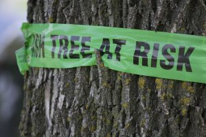 Sign on a tree warning of emerald ash borer damage (SBSArtDept)