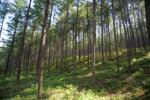 Plantation of Olga Bay Larch at Qingyuan in Liaoning Province, China. Plantations such as these will be an important source of roundwood in the future. (Photo by John Innes, Coordinator of IUFRO Task Force on Resources for the Future: Transformation in Forest Use)